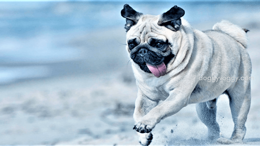 What to look for in the best pug bed